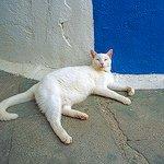 white_cat_santorini_greece