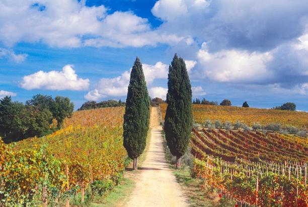 Cypress_trees_vine_chianti_italy