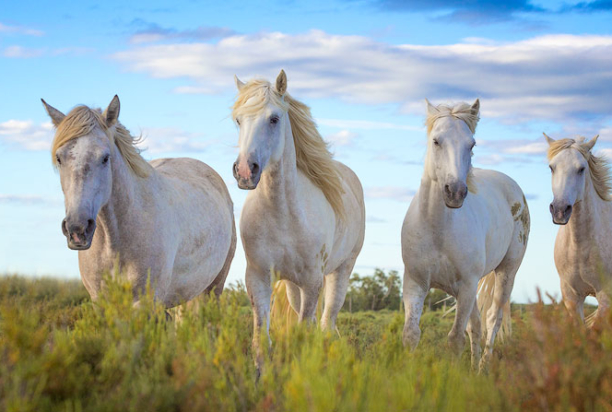 Four_White_Horses_Standing_Camargue_France_Provence_Photo_Tour