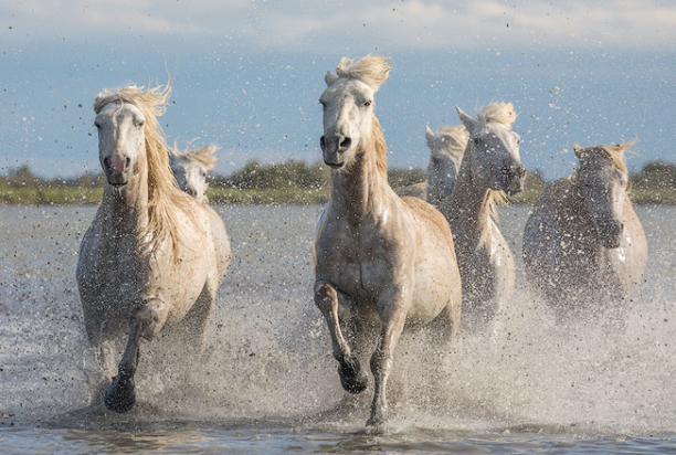 White_Horses_Running_5_Camargue_France_Provence_Photo_Tour