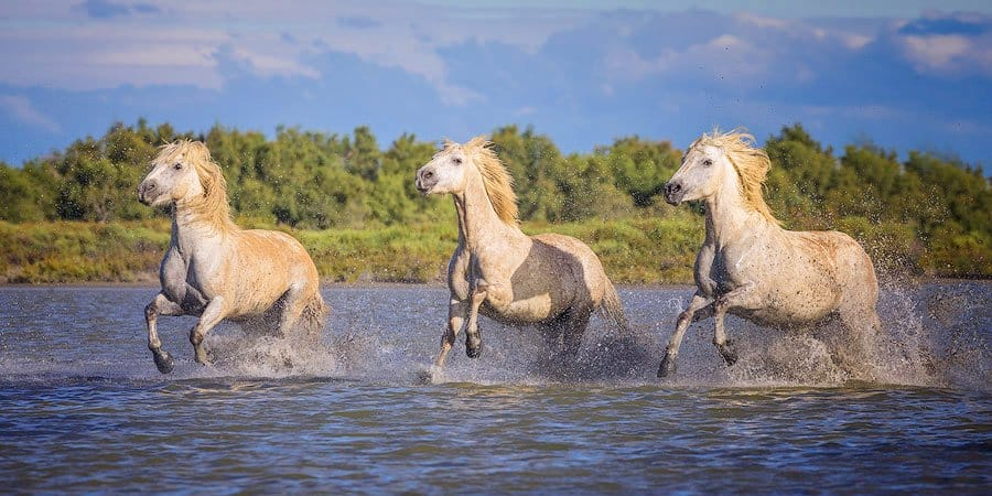 White horses charging in surf in Camargue, France
