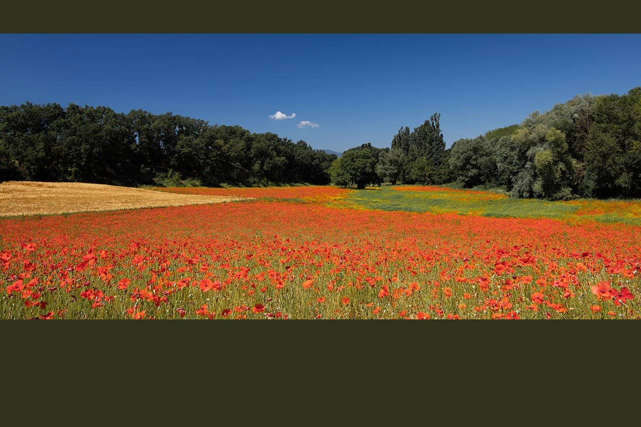 France_Provence_wheat-&-poppies_pano_2018