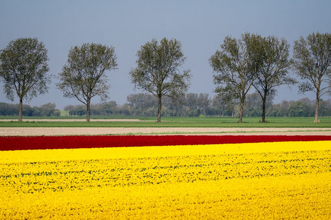 Trees_Tulips_North_Holland_Netherlands