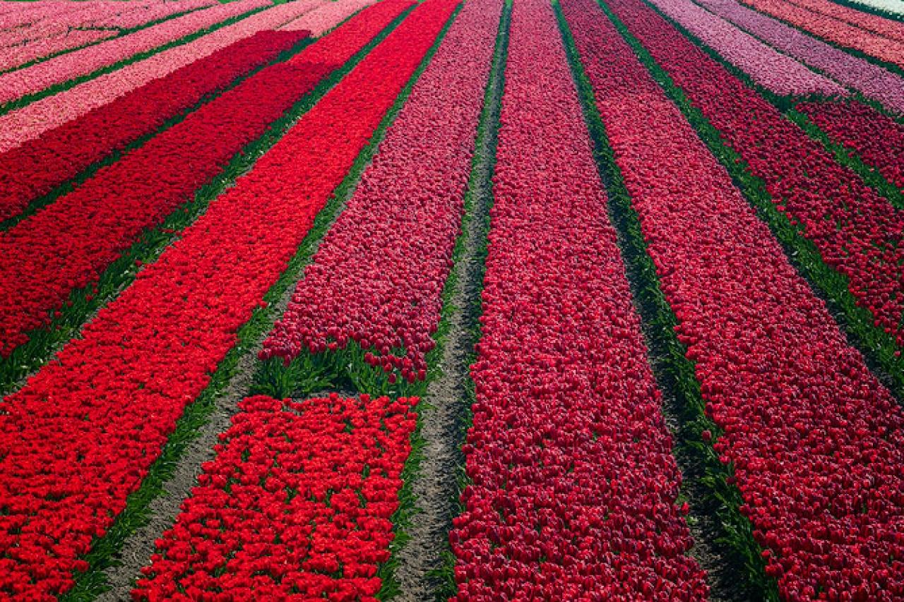 Tulip_Fields_North_Holland_Netherlands